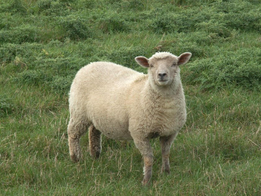 Sheep Pictures