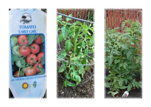 TomatoNo10