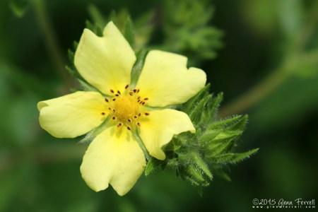 Yellow Rose of Vermont