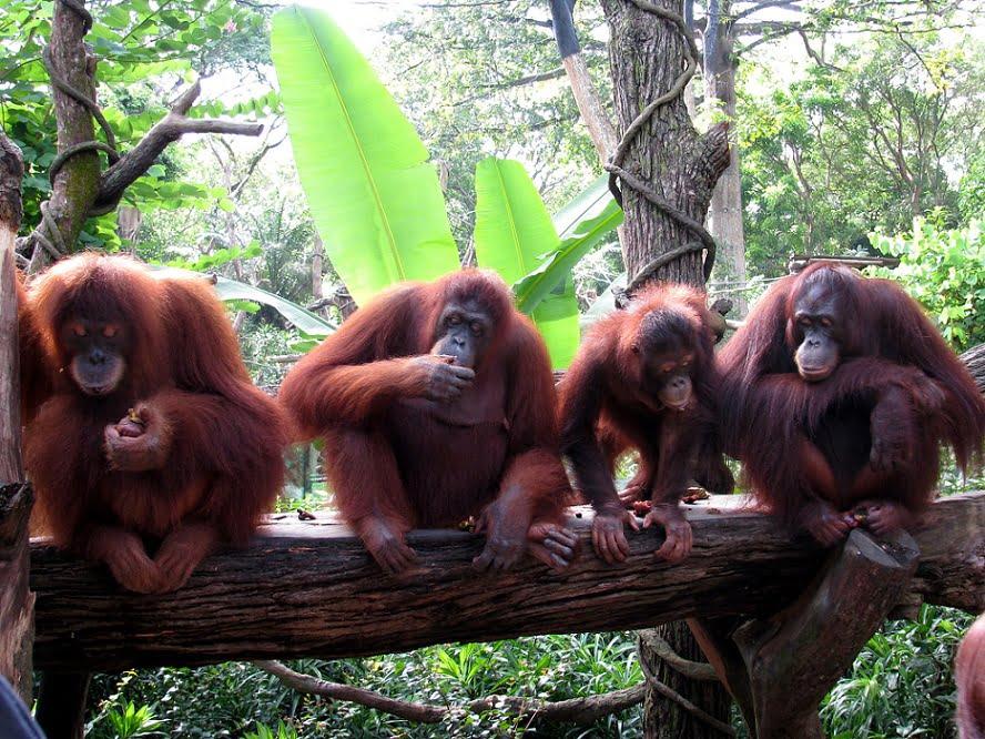 Singapore: BREAKFAST WITH ORANGUTANS (8)