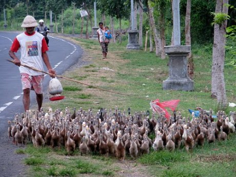 Travel-to-Bali-ducks-on-the-road-Glimpses-of-The-World