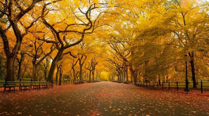 Yellow autumn in Central Park, New York
