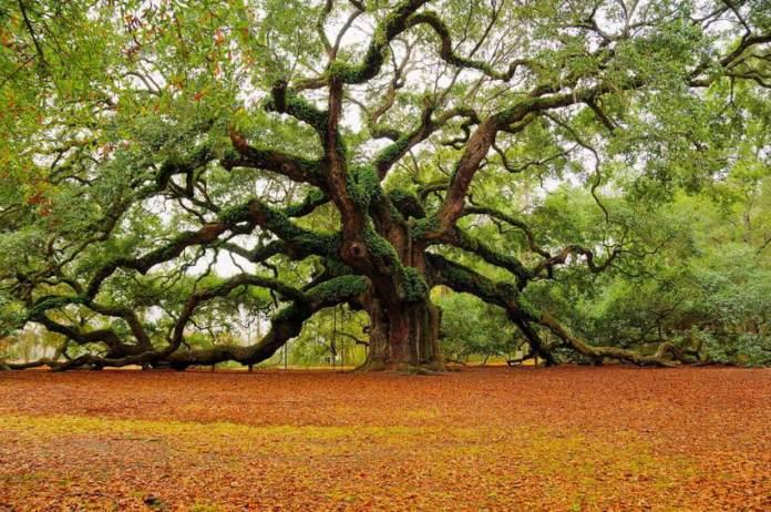 Amazing angel oak tree, Charleston