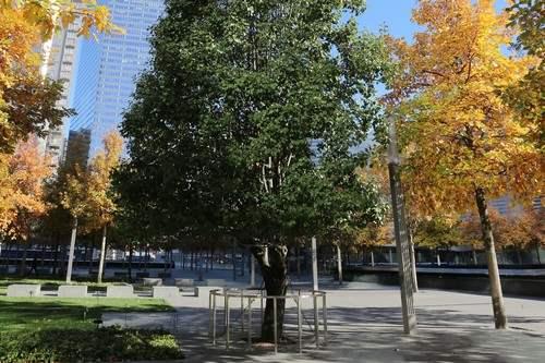 9 11 survivor Popular Trees