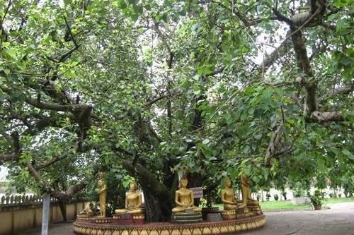 The Bodhi Popular Trees