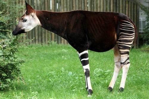 Okapi - Rare Specie