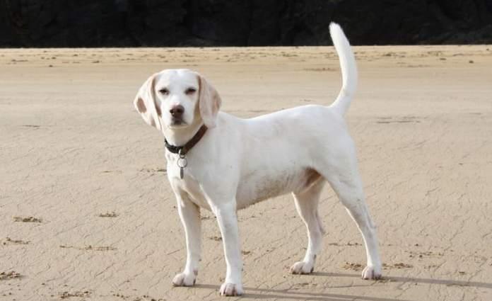 Extinct Dog Breeds Talbot