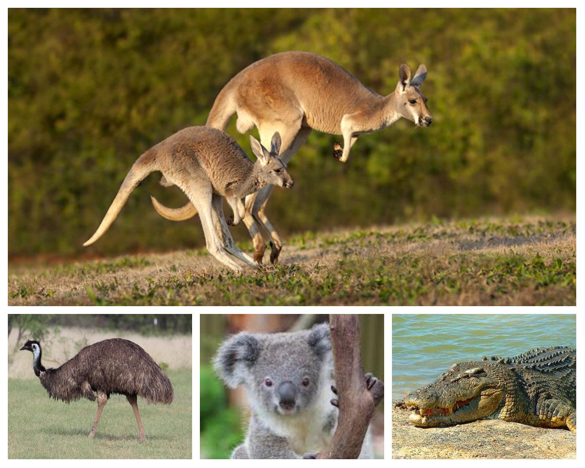 Животные живущие в австралии картинки упоминания стоят