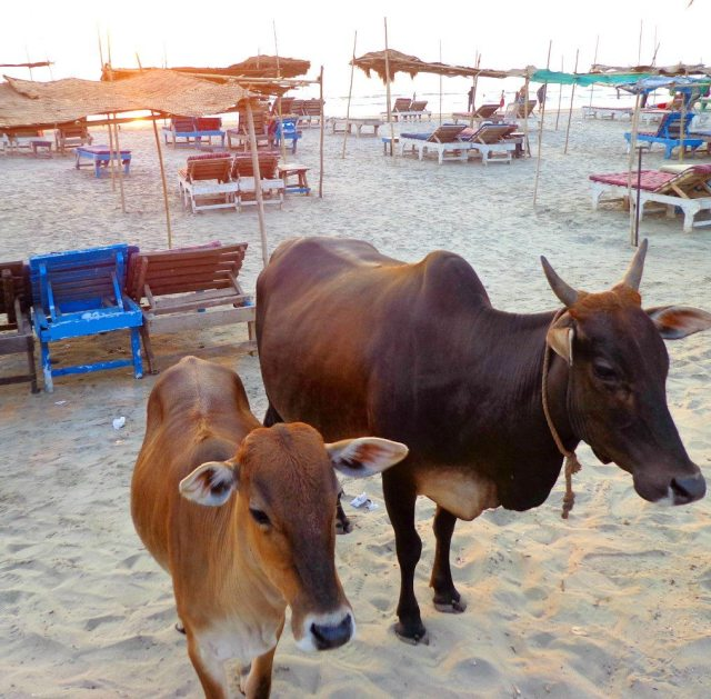 Friendly cows enjoiyng the sunset on Morjim beach, Goa