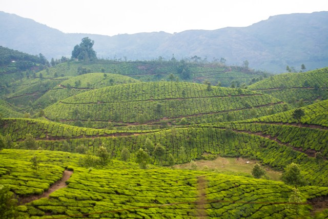 Gorgeous green views over Munnar's tea plantations