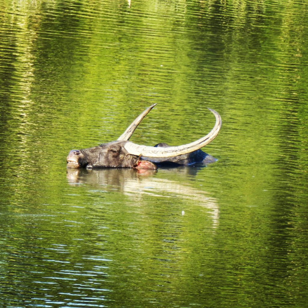 Water buffalo swimming in Kaziranga National Park