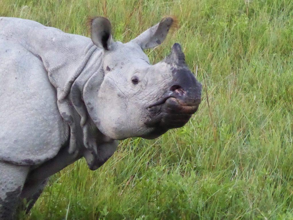 rhinos in Kaziranga National Park, Assam, India