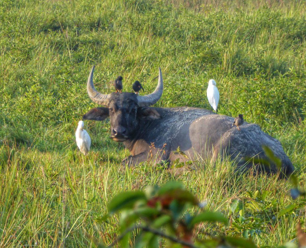 Buffalo in Kaziranga National Park
