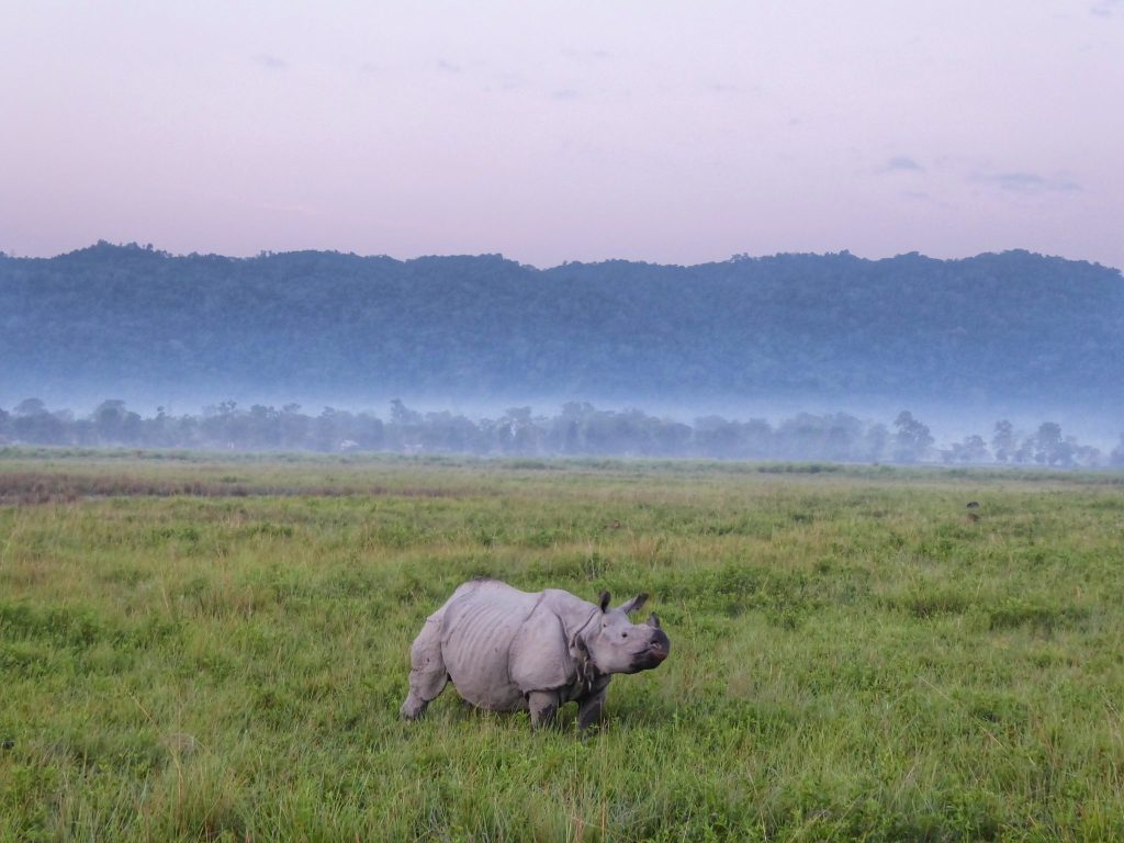 see rhinos close up in Kaziranga Natial Park, Assam, North East India