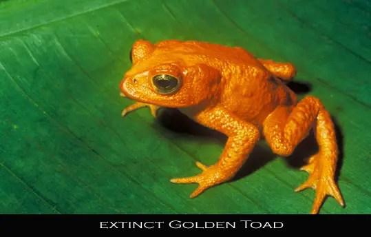 uitgestorven Golden Toad