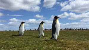 Falkland Islands Penguin excursion