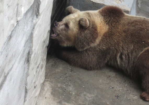 According to video footage captured by PETA inside the Chief Saunooke Bear Park, the animals bite at the metal fencing installed in the pits and sometimes break their teeth. Photo Credit: PETA