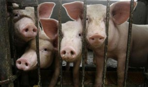 Paul Wesley is calling for an end to cruel pig gestation, the extreme confinement of breeding pigs in cages that are so small they're unable to even turn around./Photo Credit: vegnews.com