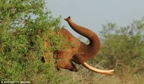 An elephant forages at the Tsavo East National Park last year, the scene of the latest mass shooting which saw a family of 11 of the animals die.