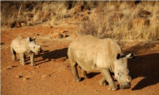 Rivaling the price of gold on the black market, rhino horn is at the center of a tragic poaching battle. Photo credit: Getty Images