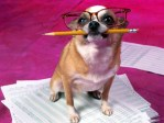Chihuahua holding pencil