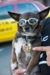 49ers chihuahua dog
