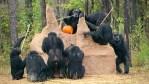 Seven chimps at chimp haven