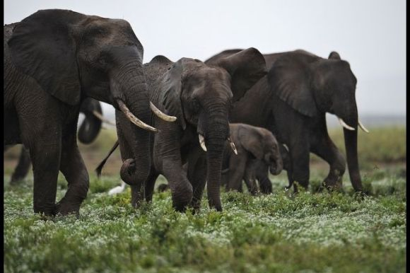Elephants at the Amboseli game reserve, south of Kenyan capital Nairobi on Dec. 30, 2012. Photo Credit:Tony KarumbaAFP/Getty Images