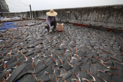 Shark fins drying in the sun cover the roof of a factory building in Hong Kong on January 2, 2013. Photo Credit: Gary Stokes