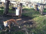 pit bull terriers rescued from dog fighting ring