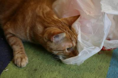 It isn't known for certain why cats find plastic bags attractive to lick. Photo credit: theogeo (flickr)