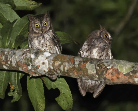 The new species on Lombok - the Rinjani scops owl (Otus jolandae). Photo Credit: Philippe Verbelen