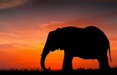 Gabon Elephants