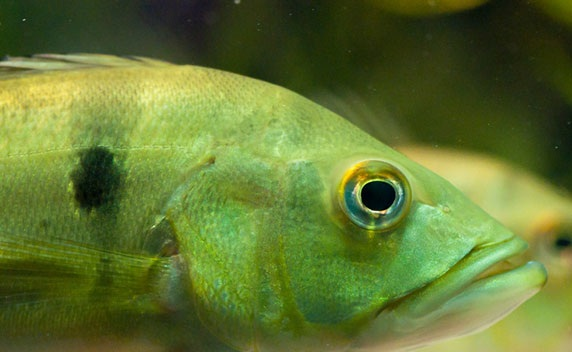 Drugged fish from pharmaceutical waste. Photo Credit: iStockphoto