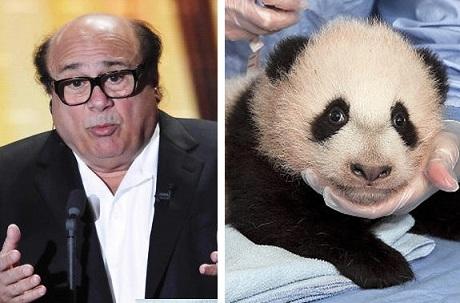 Danny DeVito or baby panda? Photo Credit: Schneider/Rex Usa; Bohn/Handout