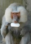 Animals who think they are human: Great Ape Monkey Primate