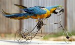 Animals who think they are human: Parrot on tricycle bike