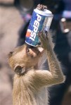 Animals who think they are human: Monkey drinks pepsi soda drink