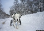 disabled dalmation dog walks in snow