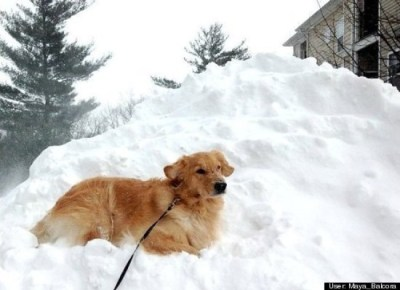 golden retriever lays in snow