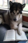 Animals who think they are human: Husky dog reading