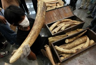 A Thai customs official shows ivory seized by the customs office in 2012 at Bangkok's Suvarnabhumi Airport. Photo Credit: Reuters
