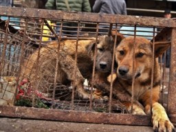 Volunteers in China rescue approximately 900 dogs. Photo Credit: news.com.au