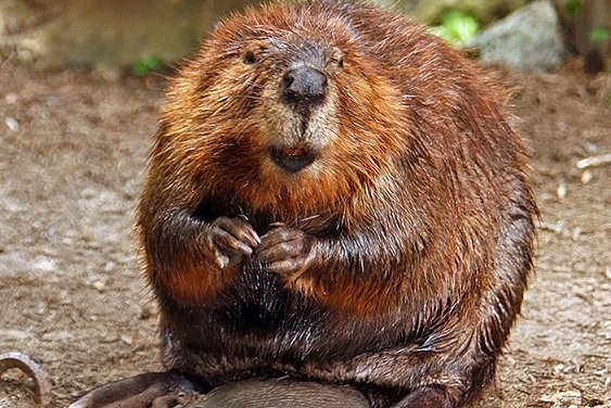 The North American beaver is Salt Lake City's new hero. Photo Credit: Stevehdc, Wikimedia Commons