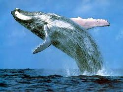 Blue-whales are the world's largest known animals. Photo Credit: Society For The Advancement Of Animal Wellbeing