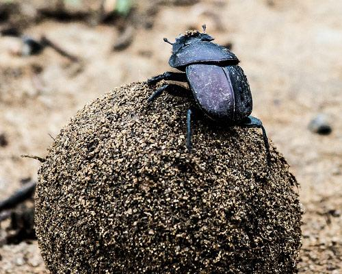"A dung beetle ""rolling"" its recyclables. Photo Credit: Ben Haeringer, Flickr"