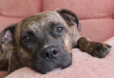 Pit Bull laws in Maryland are changing. Photo Credit: Shutterstock