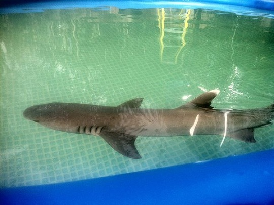 The shark is pictured in a photo provided to PETA by a whistleblower on the set. (Photo Credit: PETA)