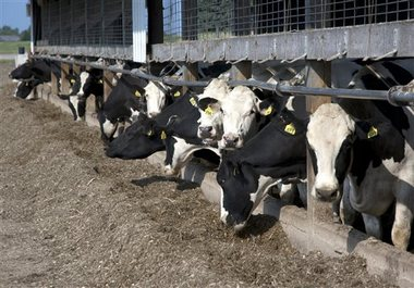 It takes 1,000 gallons of water to produce 1 gallon of milk. Photo Credit: Associated Press