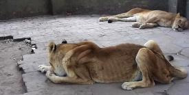 The lions are emaciated and malnourished at the Colon's Zoo in Buenos Aires. Photo Credit: msn.com